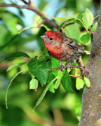 House Finch Posters - Inquisitive Poster by Betty LaRue