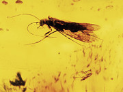 Resin Photos - Insects Fossilised In Amber by Dirk Wiersma