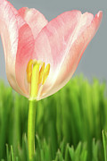 Green Day Art - Inside of a pink tulip by Sandra Cunningham
