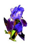 Floral Notecards Posters - Iris on White Poster by Dale   Ford