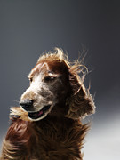 Irish Setter Posters - Irish Red Setter Poster by Michael Blann