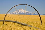 Water Pipe Posters - Irrigation Pipe In Wheat Field With Mount Hood In Background Poster by Design Pics / Craig Tuttle