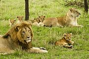 Lion Framed Prints - Its All About Family Framed Print by Michele Burgess