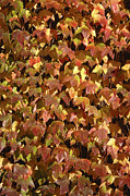 Invasive Species Photo Prints - Ivy Leaves (parthenocissus Sp.) Print by Johnny Greig