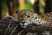 Lounging Framed Prints - Jaguar Panthera Onca Portrait, Belize Framed Print by Gerry Ellis