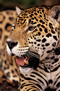 Felidae Photos - Jaguar Panthera Onca Portrait, Guyana by SA Team