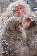 Honshu Posters - Japanese Macaques, Japanese Alps, Honshu Island, Japan Poster by Mint Images/ Art Wolfe