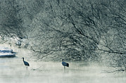 Winter Scenes Photos - Japanese Or Red-crowned Cranes Wade by Tim Laman
