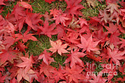 Fallen Leaf Framed Prints - Japanese Red Maple Leaves Framed Print by Ted Kinsman