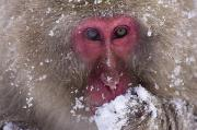 Animal In Snow Framed Prints - Japanese Snow Monkey Framed Print by Natural Selection Anita Weiner