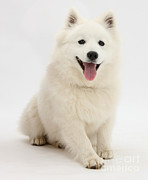 Japanese Dog Photos - Japanese Spitz Dog by Mark Taylor