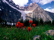Indian Paintbrush Prints - Jasper - Cavell Meadows Print by Terry Elniski