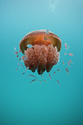 Jellyfish Framed Prints - Jelly Fish Framed Print by Scott Portelli