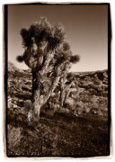  Scrub Framed Prints - Joshua Tree Forest Utah Framed Print by Steve Gadomski