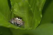 Jumping Spider Photos - Jumping Spider  by Sharon  Talson