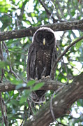 Juvenile Paintings - Juvenile Barred Owl by AnnaJo Vahle