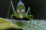 Featured Art - Katydid  Muller Range Papua New Guinea by Piotr Naskrecki