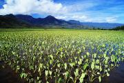 Fresh Green Posters - Kauai, Wet Taro Farm Poster by Bob Abraham - Printscapes