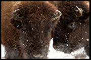 Bison Art - Keeping Warm by Robert Crespin