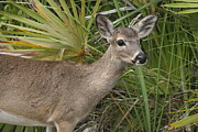 Key Deer Florida Print by Valia Bradshaw