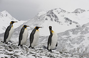 Featured Art - King Penguin Trio Walking South Georgia by Flip Nicklin
