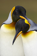 Bonding Framed Prints - King Penguins (aptenodytes Patagonicus) Framed Print by Ben Cranke