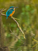 Kingfisher Originals - Kingfisher 2 by Gary Maynard