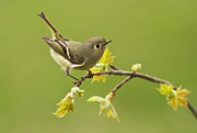 Warbler Photos - Kinglet by Mircea Costina Photography
