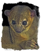 Nocturnal Animal Prints - Kinkajou Print by Larry Linton