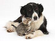 Collie Posters - Kitten & Border Collie Poster by Mark Taylor