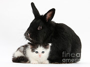Cat Portraits Prints - Kitten And Black Rabbit Print by Mark Taylor