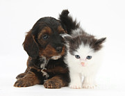 Cross Breed Photos - Kitten And Cockapoo Puppy by Mark Taylor