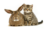 Brown Tabby Posters - Kitten And Rabbit Poster by Jane Burton