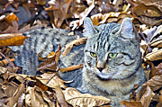 Susan Leggett Prints - Kitten in Leaves Print by Susan Leggett
