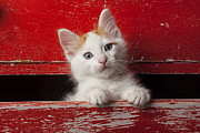 Drawers Prints - Kitten in red drawer Print by Garry Gay