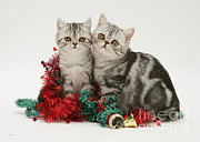 Tabby Art - Kitten With Tinsel by Jane Burton