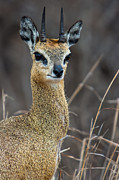South Africa Prints - Klipspringer Portrait Print by Hein Welman