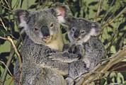 Koala Phascolarctos Cinereus Mother Print by Gerry Ellis