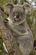 Koala Metal Prints - Koala Phascolarctos Cinereus Portrait Metal Print by Pete Oxford