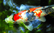 Fish Pond Prints - Koi Print by Marc Bittan