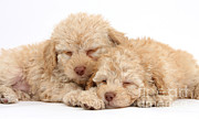 Sleeping Dog Posters - Labradoodle Puppies Poster by Mark Taylor