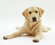 Labrador X Golden Retriever Puppy Print by Jane Burton
