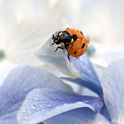 Featured Framed Prints - Ladybug Framed Print by Nailia Schwarz