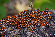 Ladybird Framed Prints - Ladybugs on branch Framed Print by Garry Gay