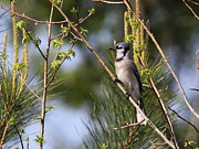 Bluejay Metal Prints - Lakes Edge Metal Print by Travis Truelove