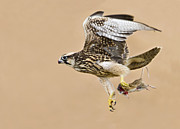 Flying Bird Originals - Lanner Falcon by Basie Van Zyl