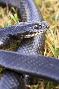 Wild Racers Metal Prints - Large Whipsnake (coluber Jugularis) Metal Print by Photostock-israel