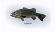 Game Drawings - Largemouth Bass by Ralph Martens