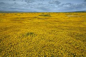 Carrizo Plain Prints - Lasthenia Californica Print by Bob Gibbons