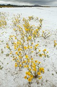 Carrizo Plain Prints - Lasthenia Glabrata Ssp. Coulteri Print by Bob Gibbons